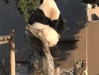 صوره متحركة لباندا يسقط من علي الشجرة